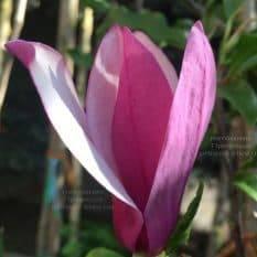 Магнолия лилиецветная Нигра (Magnolia lilliflora Nigra) ФОТО Питомник растений Природа (11)