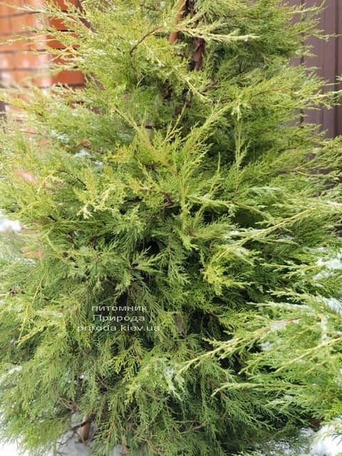 Можжевельник китайский Куривао Голд (Juniperus chinensis Kuriwao Gold) ФОТО Питомник декоративных растений Природа (7)