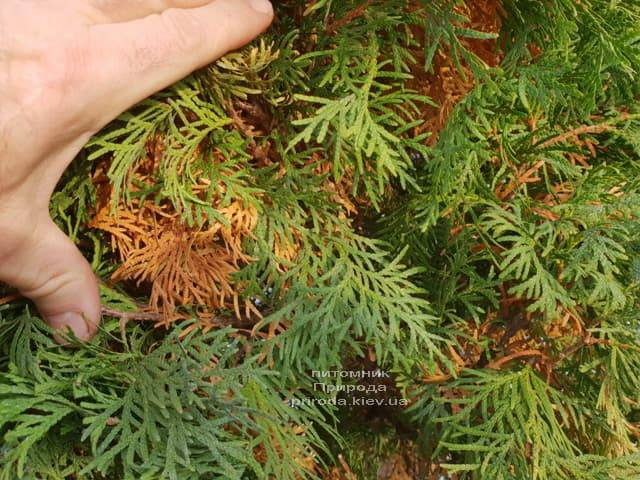 Почему желтеет туя изнутри куста ФОТО Питомник растений Природа (2)
