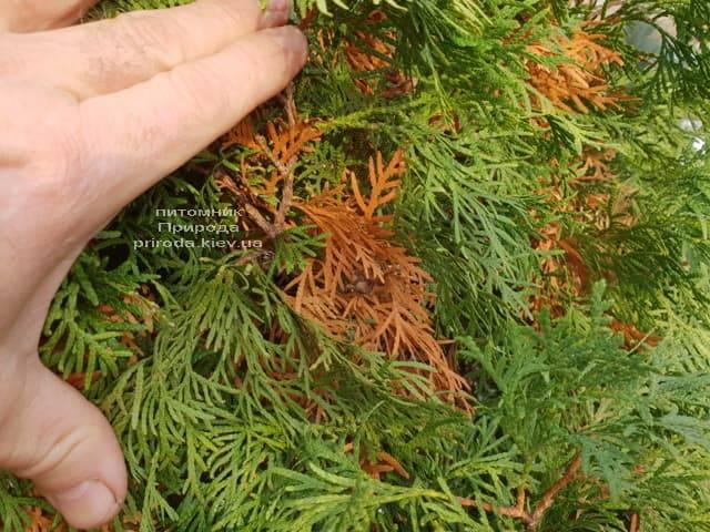 Почему желтеет туя изнутри куста ФОТО Питомник растений Природа (3)