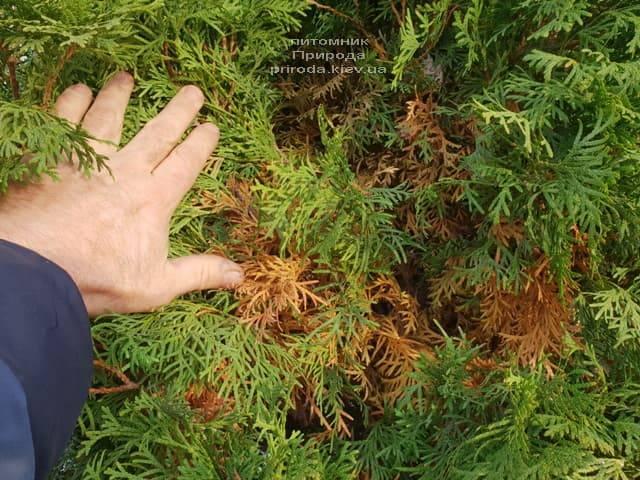 Почему желтеет туя изнутри куста ФОТО Питомник растений Природа (5)