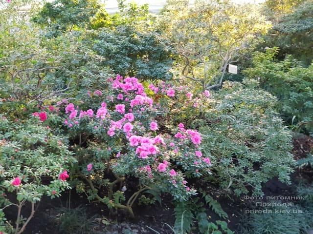 Азалия ФОТО Питомник растений Природа (13)