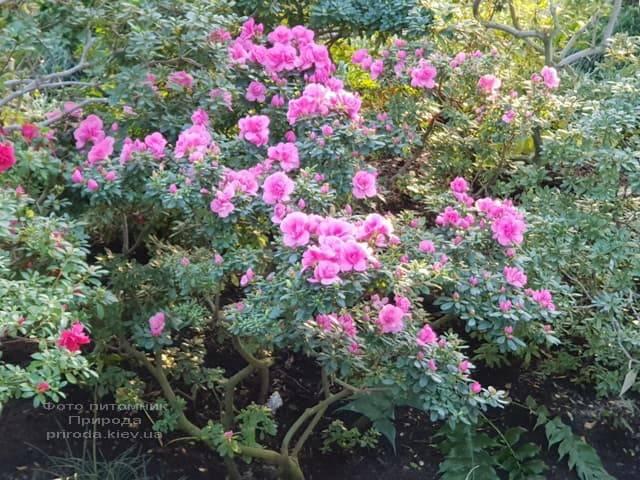 Азалия ФОТО Питомник растений Природа (14)