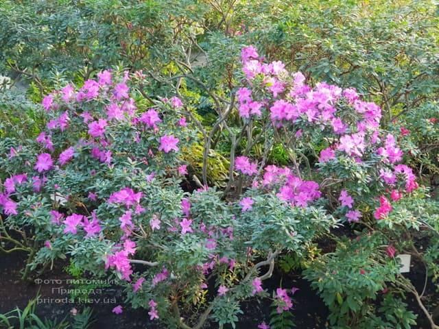Азалия ФОТО Питомник растений Природа (15)