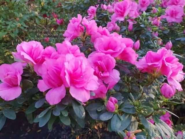 Азалия ФОТО Питомник растений Природа (16)