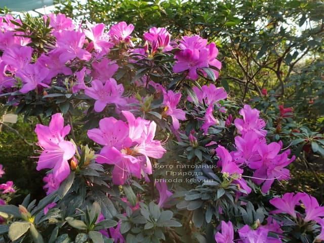 Азалия ФОТО Питомник растений Природа (17)
