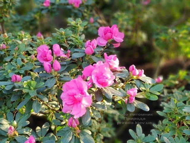 Азалия ФОТО Питомник растений Природа (19)