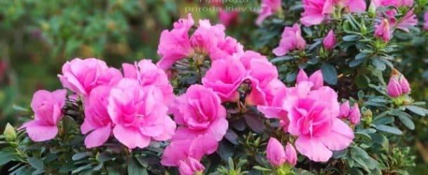 Азалия ФОТО Питомник растений Природа (20)