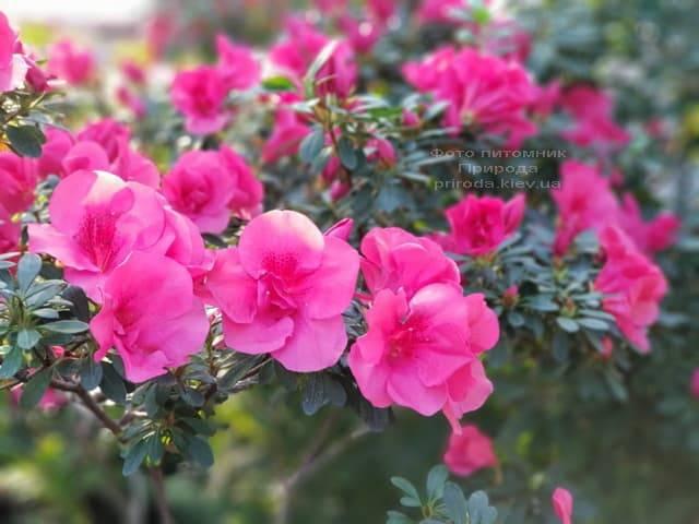 Азалия ФОТО Питомник растений Природа (22)
