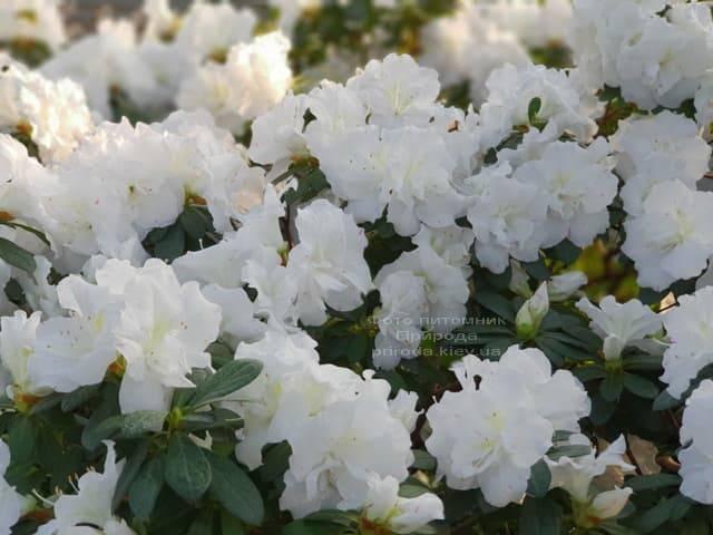 Азалия ФОТО Питомник растений Природа (23)