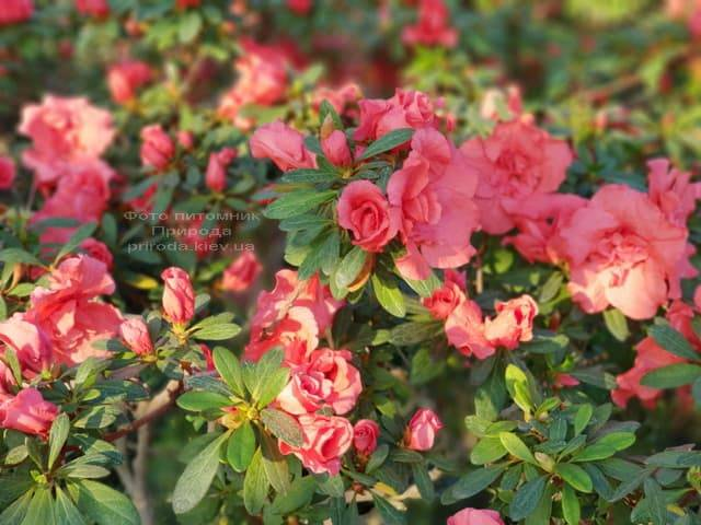Азалия ФОТО Питомник растений Природа (25)
