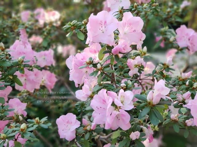 Азалия ФОТО Питомник растений Природа (29)
