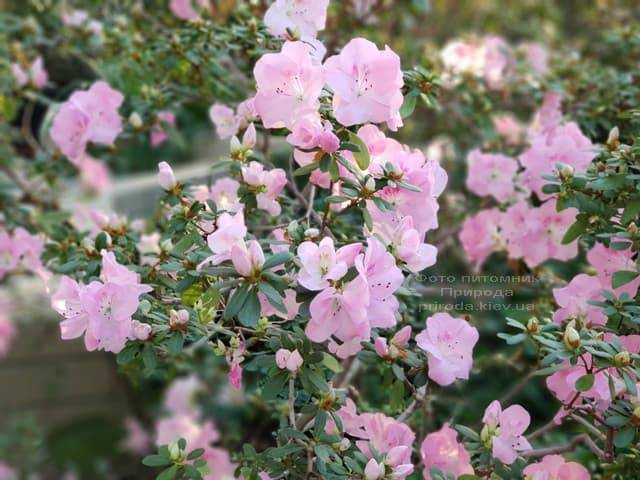 Азалия ФОТО Питомник растений Природа (30)
