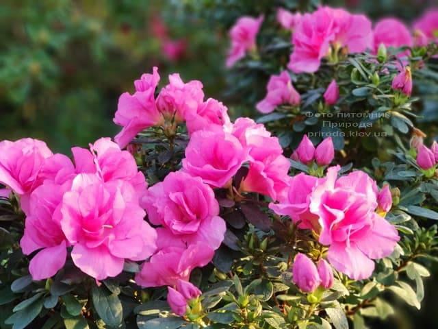 Азалия ФОТО Питомник растений Природа (31)