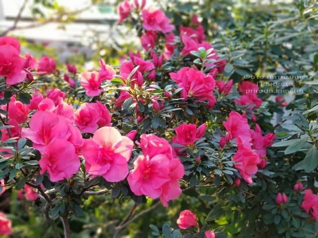 Азалия ФОТО Питомник растений Природа (32)