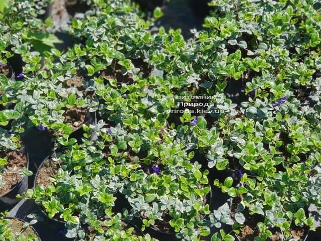 Барвинок малый Аргентеовариегата (Vinca minor Argenteovariegata) ФОТО Питомник растений Природа (2)