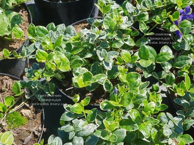 Барвинок малый Аргентеовариегата (Vinca minor Argenteovariegata) ФОТО Питомник растений Природа (3)