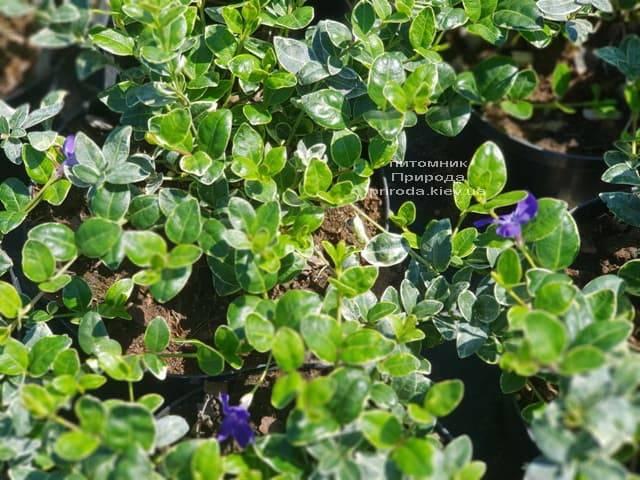 Барвинок малый Аргентеовариегата (Vinca minor Argenteovariegata) ФОТО Питомник растений Природа (5)