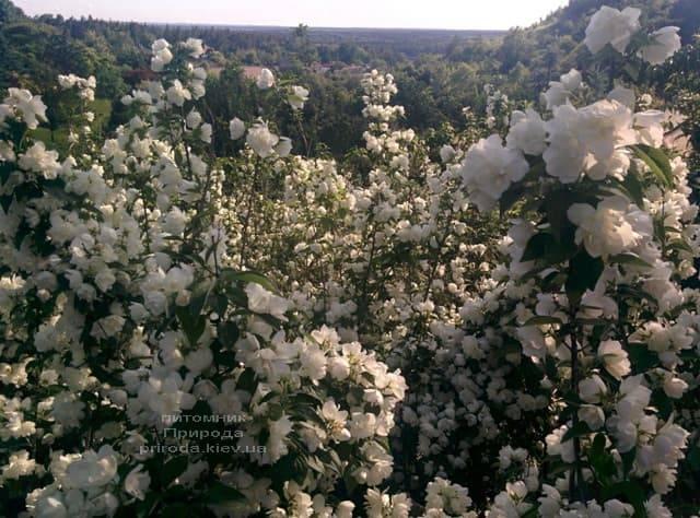 Чубушник венечный (Жасмин садовый) (Philadelphus coronarius) ФОТО Питомник растений Природа (2)