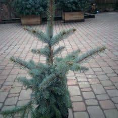 Ель голубая Фат Альберт (Picea pungens Fat Albert) ФОТО Питомник растений Природа (6)