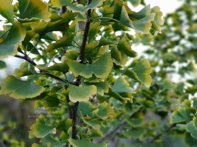 Гинкго двулопастное (Ginkgo biloba) ФОТО Питомник растений Природа (7)