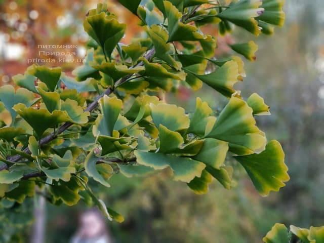 Гинкго двулопастное (Ginkgo biloba) ФОТО Питомник растений Природа (8)