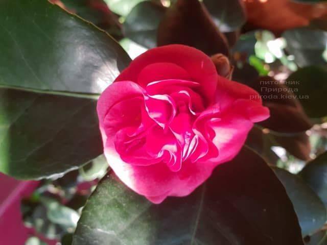 Камелия ФОТО Питомник растений Природа (2)