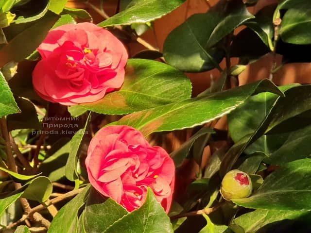 Камелия ФОТО Питомник растений Природа (4)