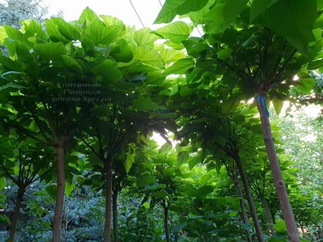 Катальпа бигнониевидная Нана (Catalpa bignoides Nana) на штамбе ФОТО Питомник растений Природа (4)