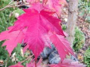 Клён Фримана осенью ФОТО Питомник растений Природа (1)
