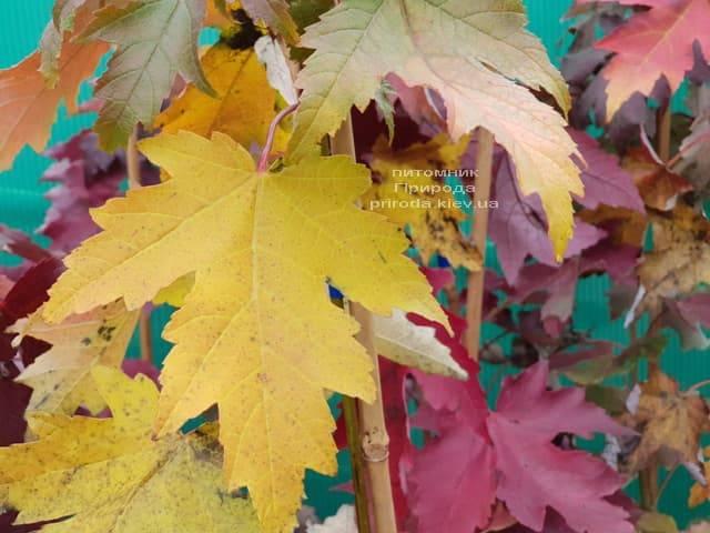 Клён Фримана осенью ФОТО Питомник растений Природа (2)