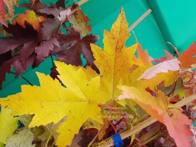 Клён Фримана осенью ФОТО Питомник растений Природа (4)