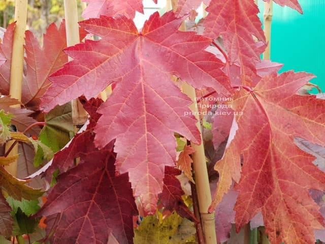Клён Фримана осенью ФОТО Питомник растений Природа (5)