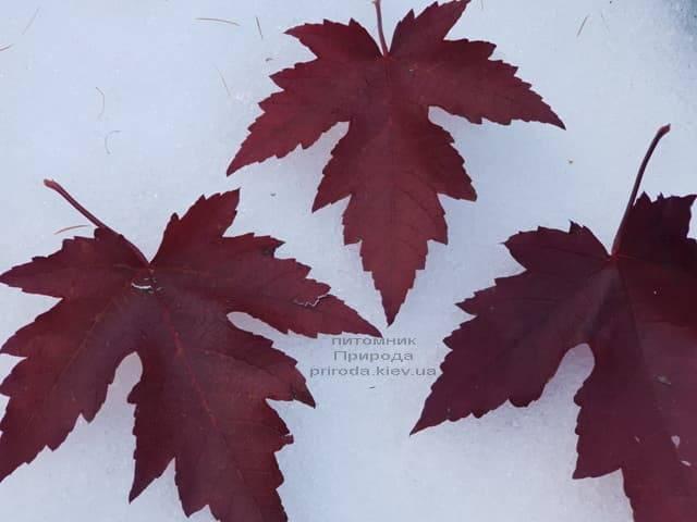 Клён Фримана осенью ФОТО Питомник растений Природа (6)