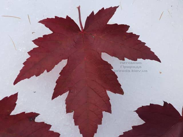 Клён Фримана осенью ФОТО Питомник растений Природа (7)