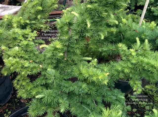 Лиственница японская Кертис Уорчард (Curtis Worchard) ФОТО Питомник растений Природа (3)
