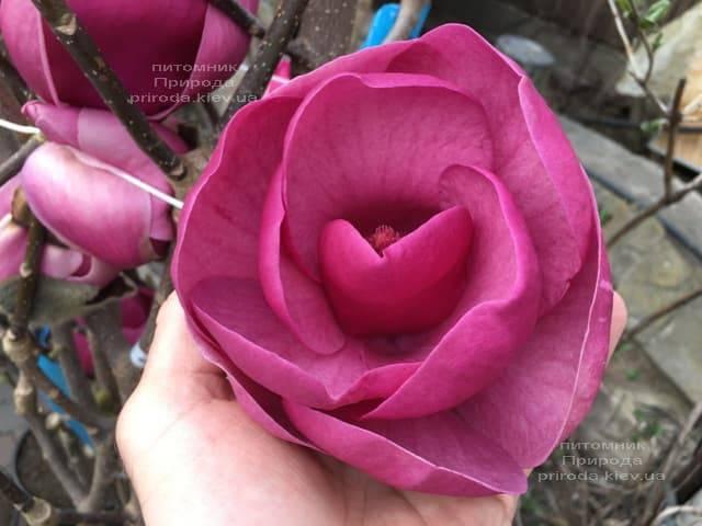 Магнолия Блэк Тюлип (Magnolia Black Tulip) ФОТО Питомник растений Природа (42)