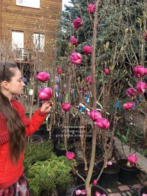 Магнолия Блэк Тюлип (Magnolia Black Tulip) ФОТО Питомник растений Природа (44)