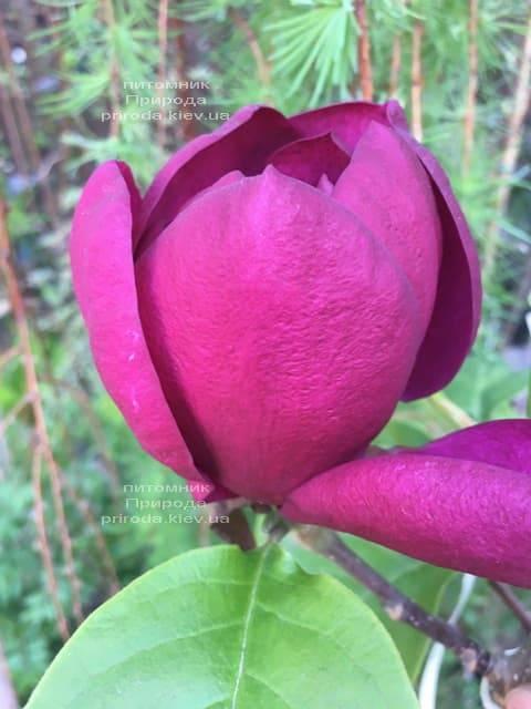 Магнолия Блэк Тюлип (Magnolia Black Tulip) ФОТО Питомник растений Природа (47)