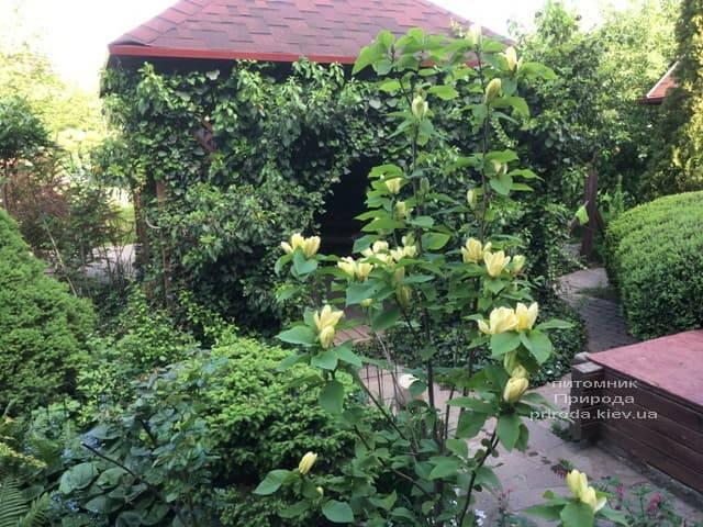 Магнолия бруклинская Еллоу Берд (Magnolia brooklynensis Yellow Bird) ФОТО Питомник растений Природа (13)