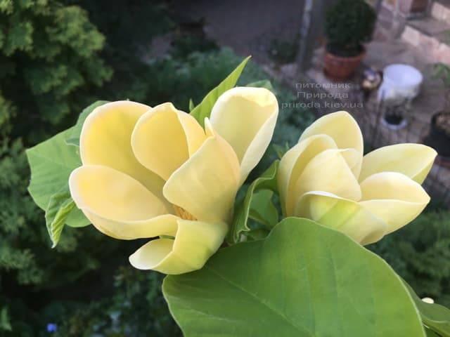 Магнолия бруклинская Еллоу Берд (Magnolia brooklynensis Yellow Bird) ФОТО Питомник растений Природа (9)