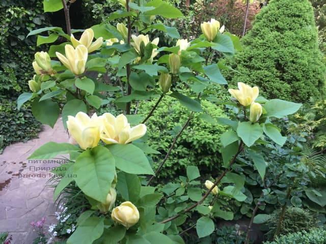 Магнолия обнаженная Еллоу Ривер (Magnolia denudata Yellow River) ФОТО Питомник растений Природа