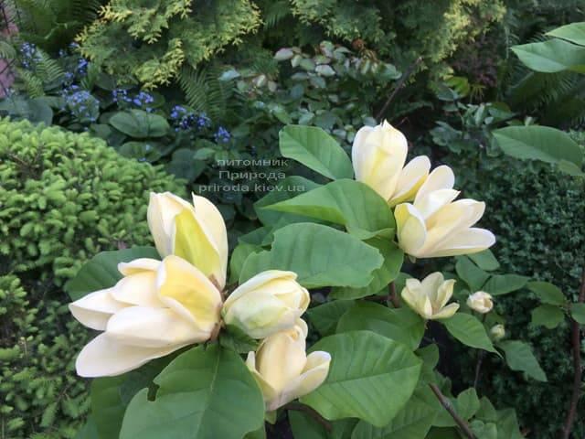 Магнолия обнаженная Еллоу Ривер (Magnolia denudata Yellow River) ФОТО Питомник растений Природа (2)