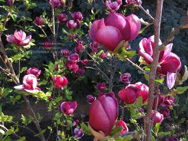 Магнолия Джени (Magnolia Genie) ФОТО Питомник растений Природа (13)