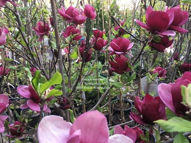 Магнолия Джени (Magnolia Genie) ФОТО Питомник растений Природа (21)