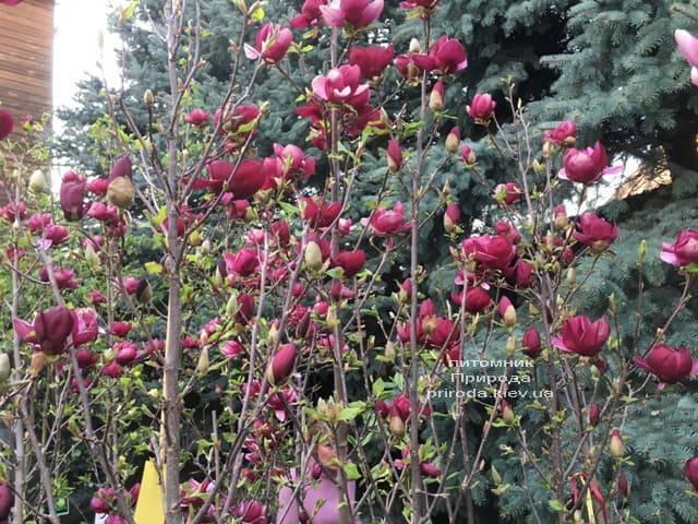 Магнолия Джени (Magnolia Genie) ФОТО Питомник растений Природа (22)