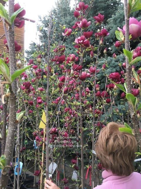 Магнолия Джени (Magnolia Genie) ФОТО Питомник растений Природа (23)