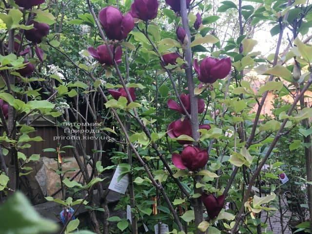 Магнолия Джени (Magnolia Genie) ФОТО Питомник растений Природа (25)