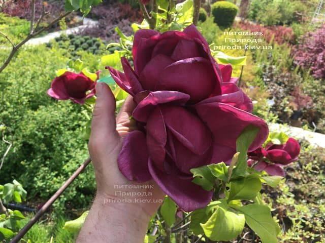 Магнолия Джени (Magnolia Genie) ФОТО Питомник растений Природа (10)