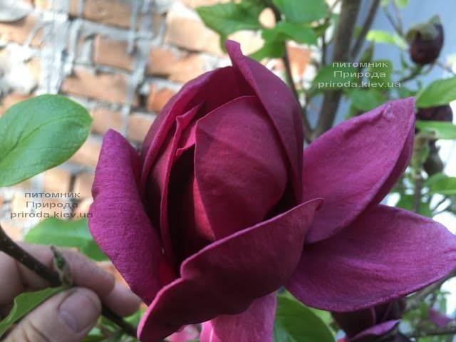 Магнолия Джени (Magnolia Genie) ФОТО Питомник растений Природа (15)